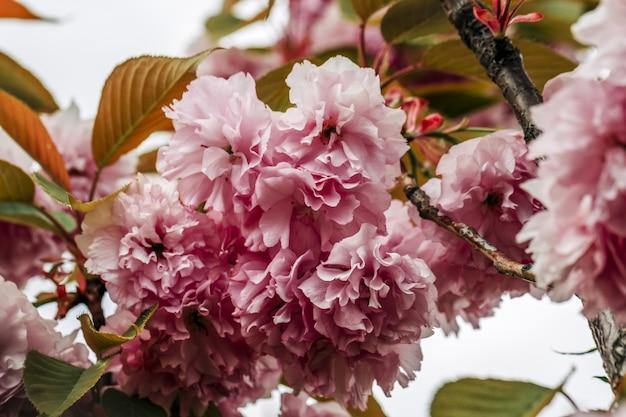 Primo piano di un fiore di ciliegio rosa sakura che sboccia in giappone un ramo di un paesaggio primaverile di sakura