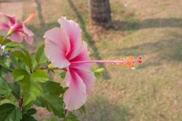 Chiuda su di rosa cinese rosa nel giardino
