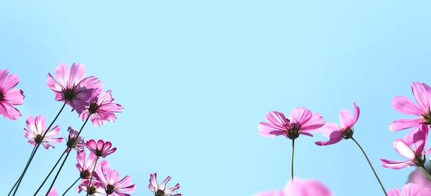 Close up cosmo rosa in fiore nel cielo blu chiaro. prato fiorito per l'estate o la primavera. sfondo banner con spazio di copia.