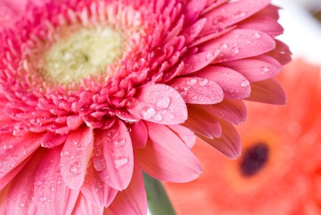 Primo piano margherita rosa-gerbera con gocce d'acqua
