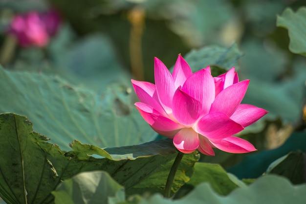 Close up pink lotus (nelumbo nucifera gaertn.) nel lago, colorati petali di rosa-bianco con verde sullo sfondo della natura