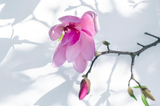 Close up di rosa fiore di magnolia su sfondo bianco con luce e ombra.