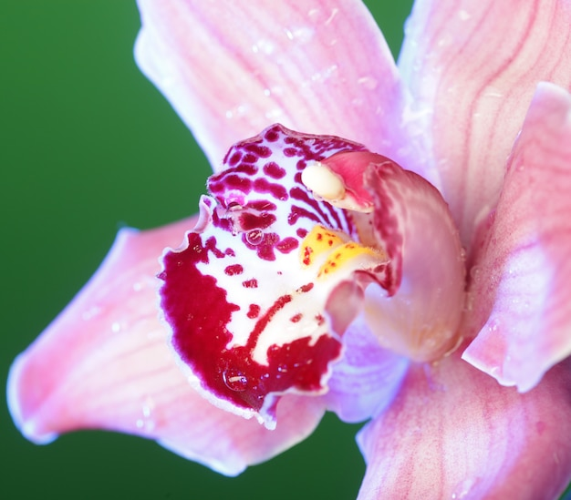 Close up orchidea rosa.