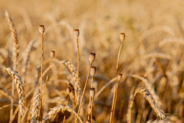 Primo piano di papavero nel campo di grano giallo.