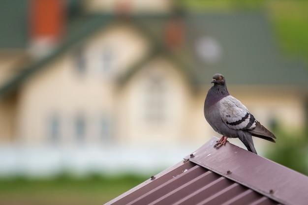 Ritratto del primo piano di bello grande piccione cresciuto grigio e bianco con l'occhio arancione e piume spesse che si appollaiano sopra il tetto di mattonelle marrone del metallo sul fondo a due piani variopinto luminoso vago del bokeh della casa.