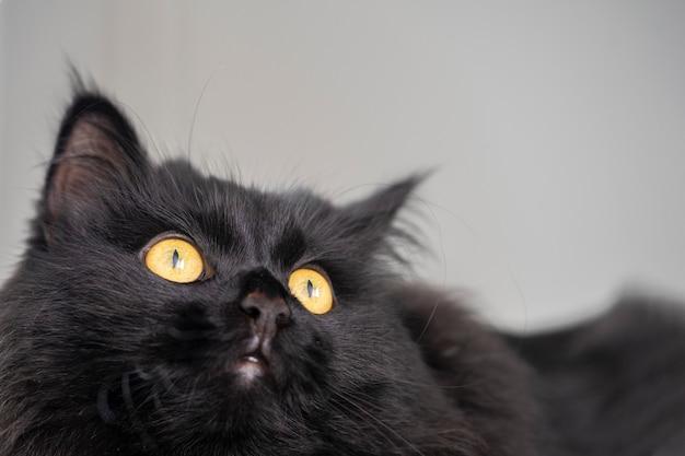 Ritratto ravvicinato di un gatto nero con gli occhi gialli che guarda in alto su uno sfondo chiaro.
