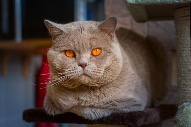 Gatto britannico del lillà dello shorthair del ritratto del primo piano