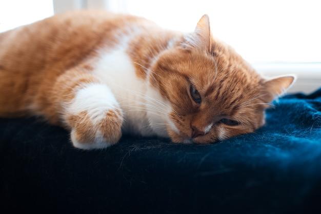 Ritratto del primo piano del gatto rosso e bianco lanuginoso sveglio