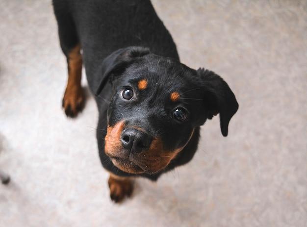 Close-up verticale di un simpatico cucciolo di rottweiler tedesco.