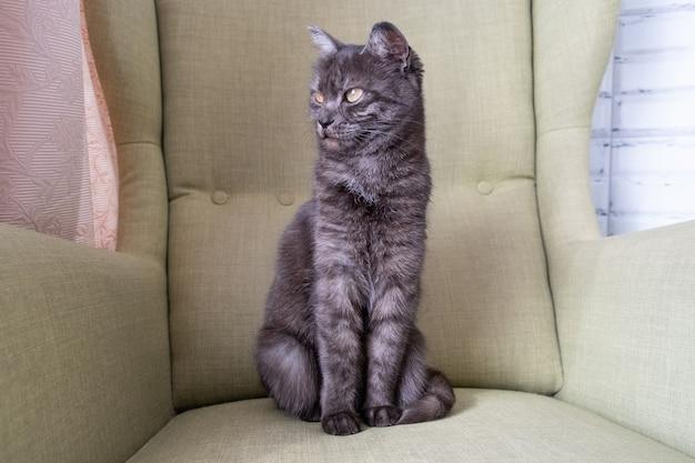 Ritratto ravvicinato di un gatto domestico a pelo corto grigio seduto su una poltrona verde. due gatti in casa. immagine per clinica veterinaria, mangimi per animali, blog per gatti.