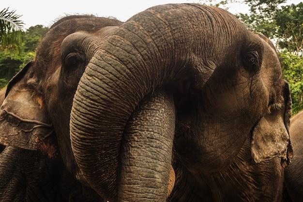 Chiuda sul ritratto dell'elefante asia