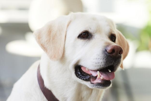 Ritratto ravvicinato di un cane felice sdraiato sul pavimento a casa e guardando lo spazio della copia della fotocamera