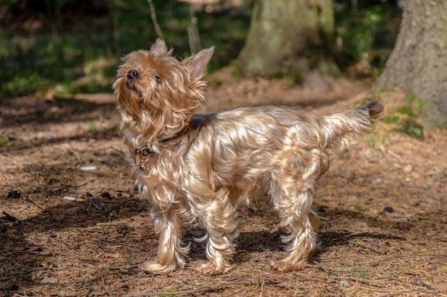 Chiuda sul ritratto dell'yorkshire terrier grazioso
