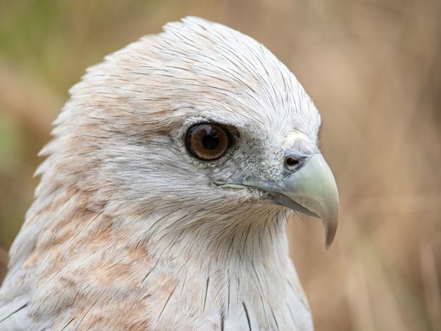 Il ritratto da vicino di un falco rosso ha un colore bruno-rossastro tranne che la testa e il petto sono bianchi.