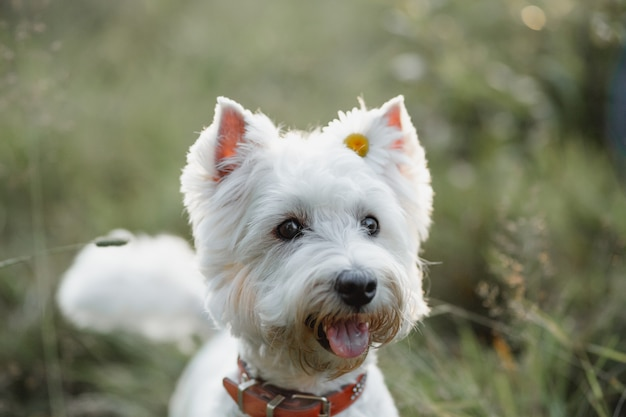 Close up ritratto di west highland white terrier cane con fiore nel campo