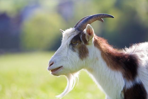 Ritratto del primo piano della capra irsuta domestica chiazzata bianca e marrone con i corni ripidi lunghi, gli occhi gialli e la barba bianca sul fondo giallo e blu vago del bokeh. allevamento del concetto di animali utili.
