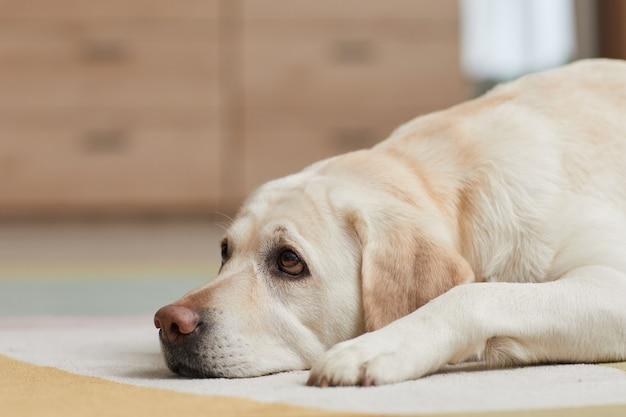 Ritratto ravvicinato di un cane labrador bianco sdraiato sul tappeto a casa e che guarda il proprietario con gli occhi da cucciolo, copia spazio