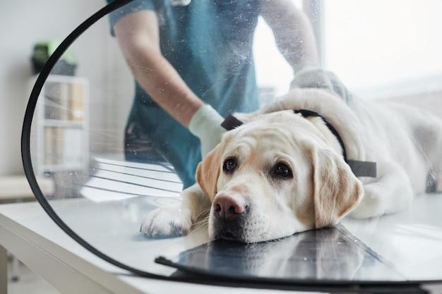 Ritratto ravvicinato di un cane labrador bianco che indossa un collare protettivo durante l'esame presso la clinica veterinaria, spazio copia