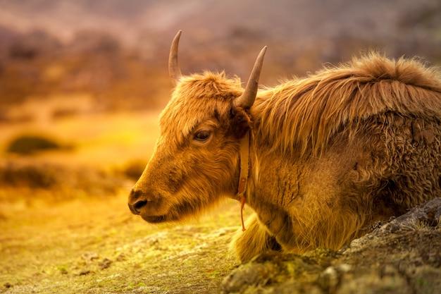 Primo piano ritratto di yak sulla strada per l'everest