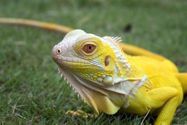 Vicino ritratto di un giallo iguana