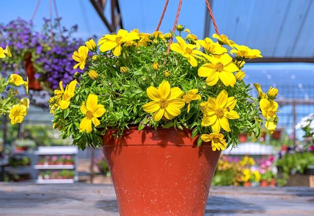 Primo piano di un vaso di fiori gialli di bacopa in piedi su uno scaffale di legno nel centro del giardino.