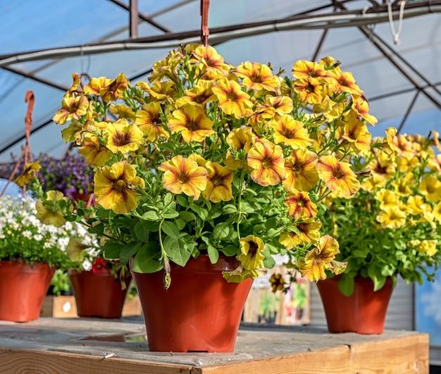 Primo piano di un vaso di fiori gialli di petunia in piedi su un bancone in un negozio di giardino.