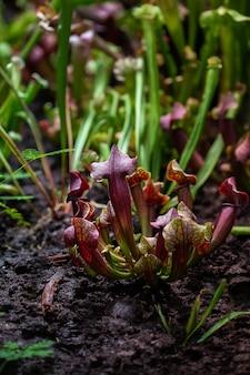 Primo piano di una trappola per insetti predatori fiore di sarracenia latin sarracenia una pianta carnivora insettivora su uno sfondo sfocato con messa a fuoco selettiva