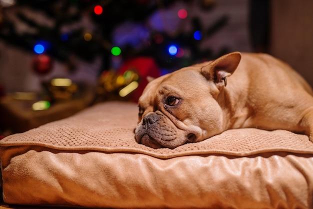 Primo piano del cucciolo sdraiato sul cuscino. sullo sfondo l'albero di natale. concetto di vacanze di natale.