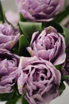 Close up viola tulipani foto. concetto di primavera.