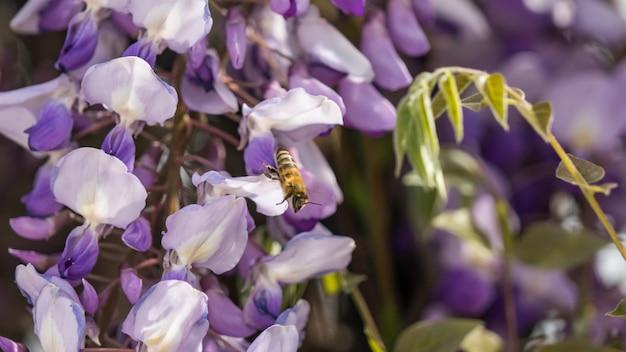 Close up viola fiori di glicine e ape, crimea.