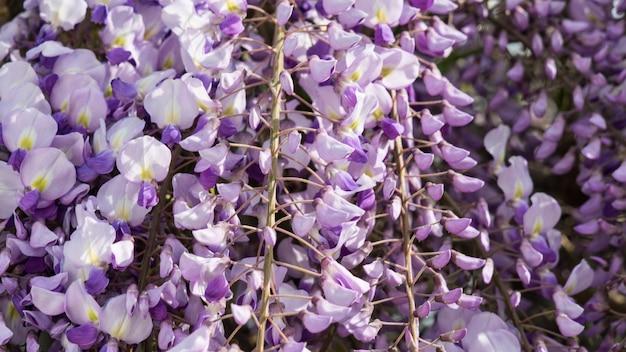 Close up viola fiori di glicine, crimea.