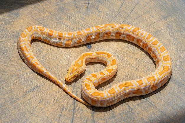 Primo piano di python molurus rannicchiato sulla fetta di legno. animale domestico esotico, carta da parati, poster, sfondo, vista dall'alto