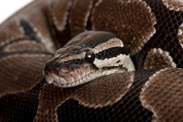 Primo piano del serpente di python regius