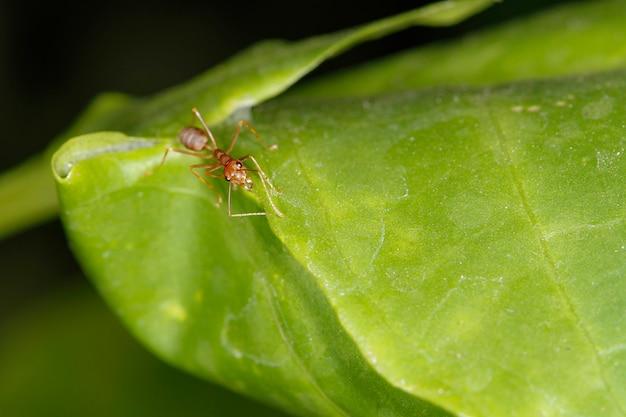 Primo piano formica rossa su foglia fresca in natura