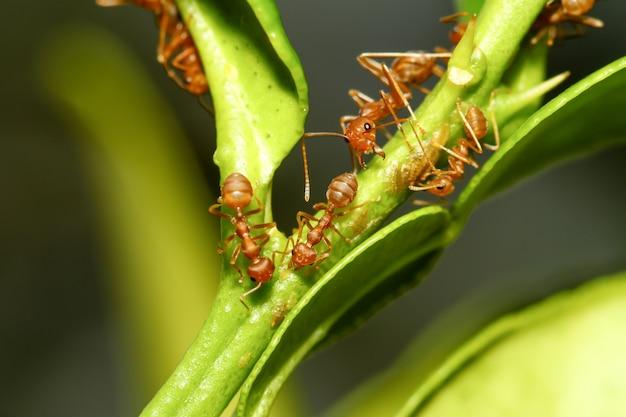 Chiuda sulla formica rossa sull'albero di bastone in natura alla tailandia