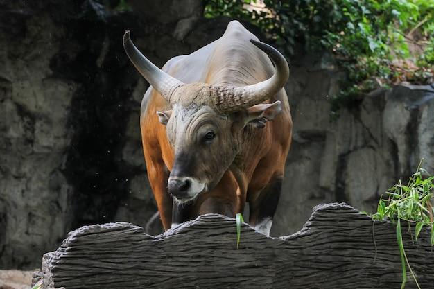 Chiudi la mucca rossa