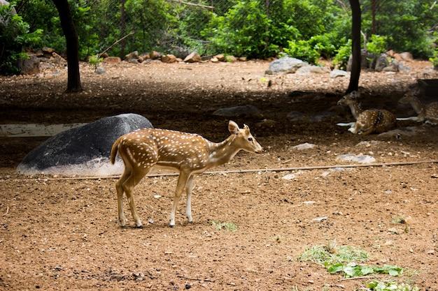 Close up di un cervo rosso cervo in autunno india