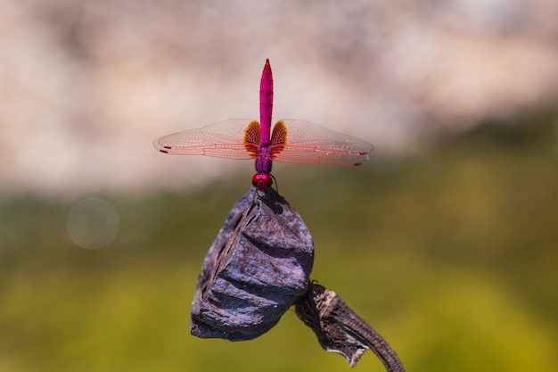 Primo piano di una libellula rossa appollaiata su un ramo secco. la libellula darter venata di rosso, nota anche come sympetrum fonscolombii, appartiene al genere sympetrum.