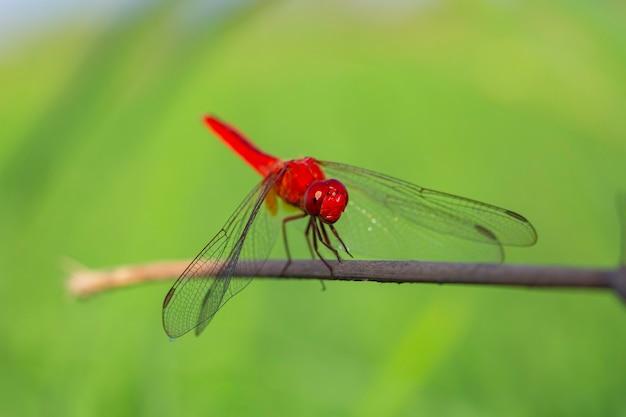 Primo piano di una libellula rossa con rami secchi