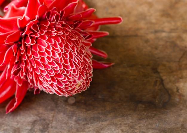 Close-up di rosso etlingera elatior fiore.