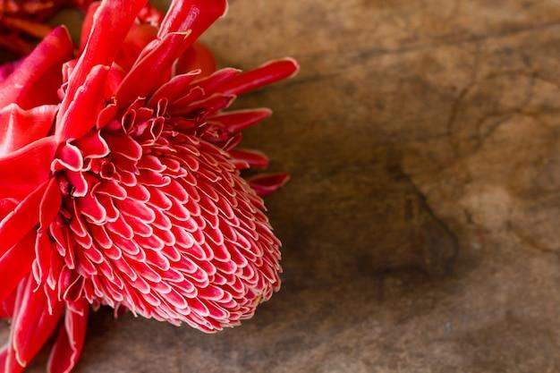 Primo piano del fiore di elatior rosso di etlingera.