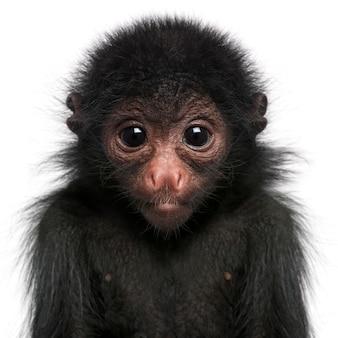Primo piano della scimmia di ragno dalla faccia rossa, panisco di ateles su bianco isolato