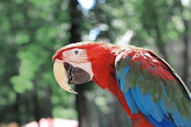 Avvicinamento. pappagallo ara rossa su sfondo sfocato.