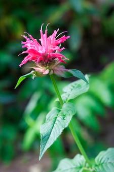 Primo piano del fiore rosso di monarda