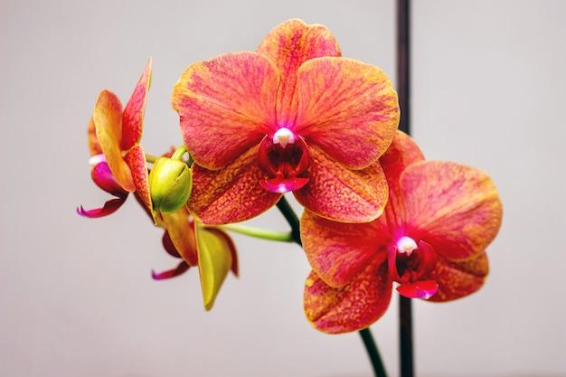 Vicino fiori rossi dell'orchidea