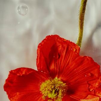 Primo piano di un fiore di papavero rosso con gocce d'acqua