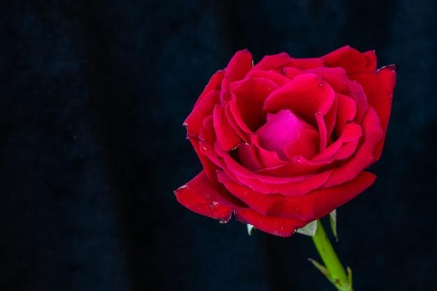 Close-up di rosa rossa su sfondo nero. con spazio per scrivere