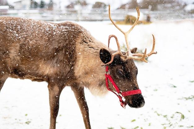 Avvicinamento. renna che cammina in una fattoria nella foresta in inverno, nel ranch.