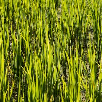 Primo piano del raccolto del riso che cresce nel campo, kamu lodge, ban gnoyhai, luang prabang, laos