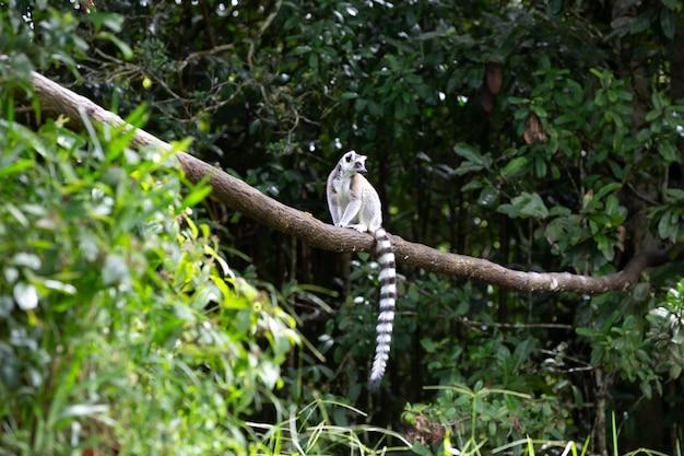 Primo piano su lemure dalla coda ad anelli